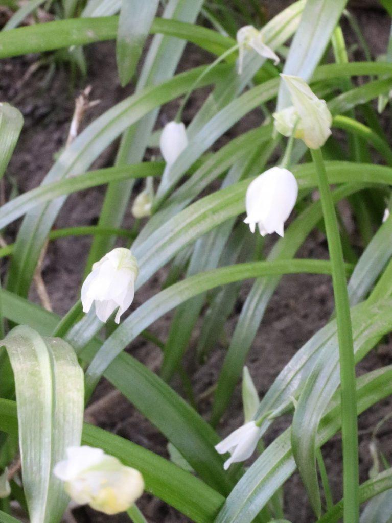 Few Flowered Garlic